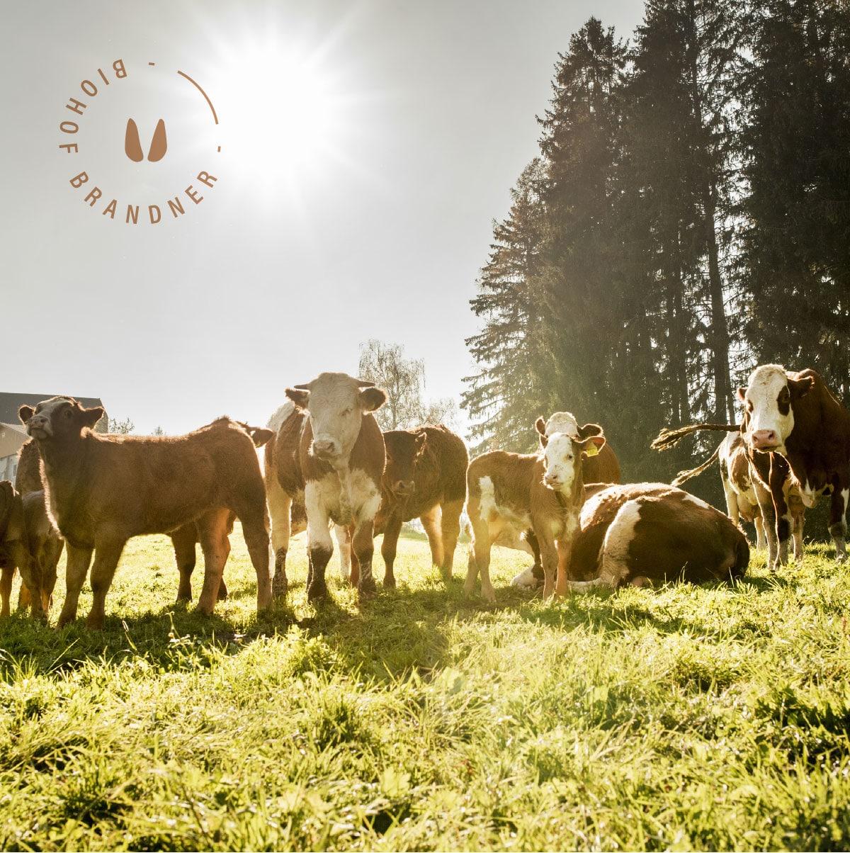 Rinder vom Biohof Brandner Steiermark